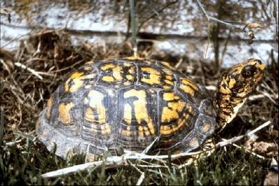 The Eastern Box Turtle(Terrapene carolina carolina)