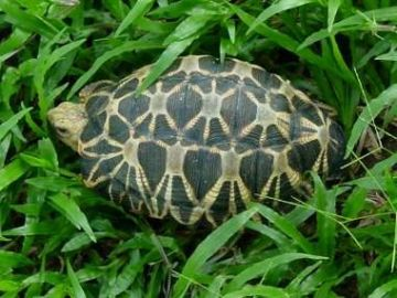 The Burmese Star Tortoise (Geochelone platynota) from South Myanmar