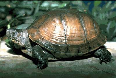 The Gulf Coast Box Turtle (Terrapene carolina major)