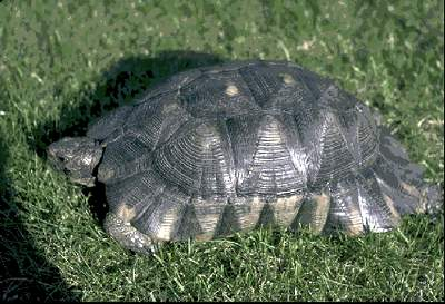 Testudo marginata Top