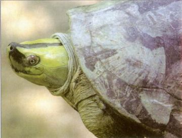 A Male Burmese Ridge-back Turtle (Kachuga trivittata) in full breeding colour.