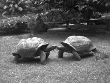 Male giant tortoises: Adam (D. hololissa) left, Stan (D. arnoldi) right