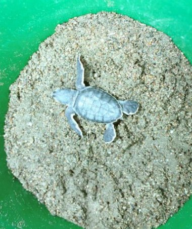 Loggerhead hatchling in the bucket