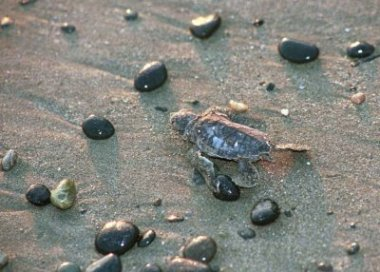 Loggerhead hatchling heading for the sea.