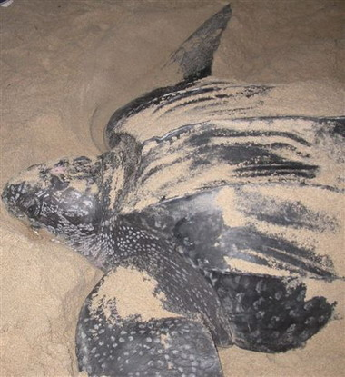 A female leatherback on a Trinidad beach