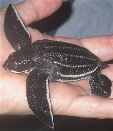 A hatchling leatherback, just prior to its return to the sea