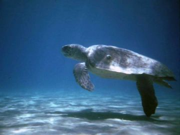 Swimming Loggerhead Turtle