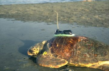 Turtle with transmitter heading for the sea
