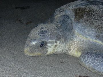 Photo 2. The only olive ridley turtle we witnessed on the north coast beaches.