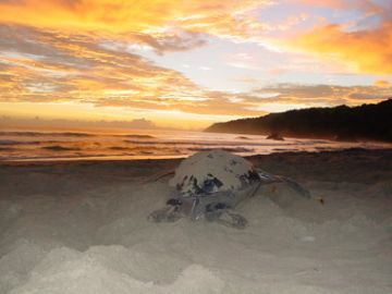 Photo 3. Leatherback turtle on Grande Tacarib at sunrise.