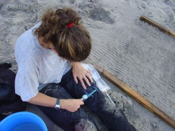 Photo 5. Measuring a leatherback hatching.