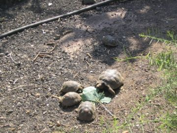 Feeding time at the Charles Darwin Research Station Tortoise Breeding Centre.
