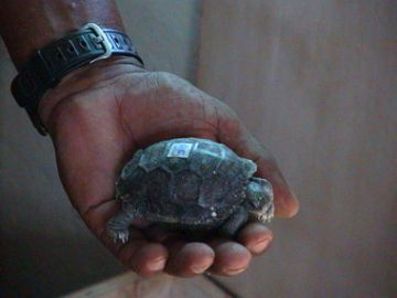 Tortoise hatchling at the Charles Darwin Research Station.