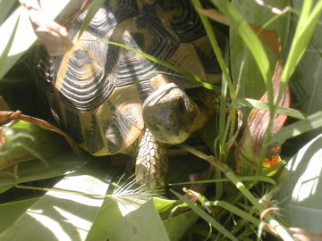 Photo 1. Hermann's tortoise 'dans herbes vertes'.