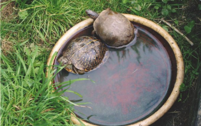 Fig. 5. Ornate and three-toed box turtles enjoying a bathe in their outdoor enclosure.