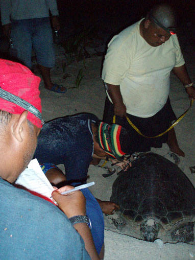 Fig. 3. (a) Field crew tagging and measuring a nesting green turtle on Gielop Island.