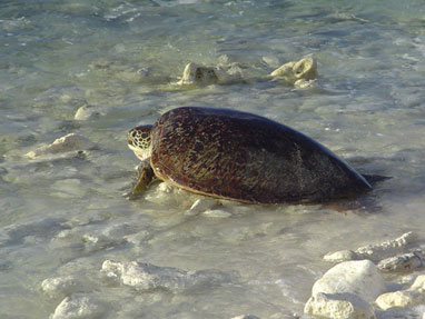 Fig. 3. (b) Nesting green turtle returning from nesting in the early morning on Gielop Island.