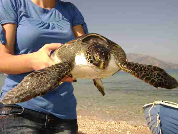 Fig. 7. Green turtle Chelonia mydas found at Orikum, Albania.