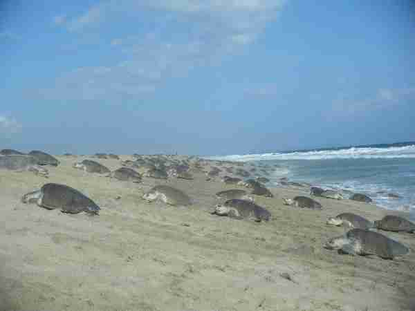 Fig. 1. Females coming ashore to lay their nests. Most nesting usually occurs during the night, but this photo was taken in the late afternoon at the onset of the arribada. Photo by M. Ocana.