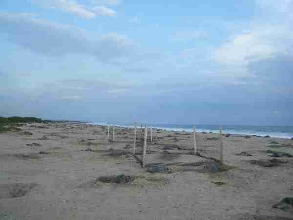 Fig. 3. Study plots were built across the middle zone of the beach where nesting is frequent. Photo by M. Ocana.
