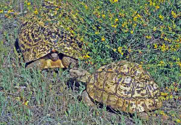 Fig. 1. Male and female leopard tortoises. Photos by E. Pirog.