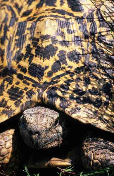 Fig. 10. Portrait of a leopard tortoise.
