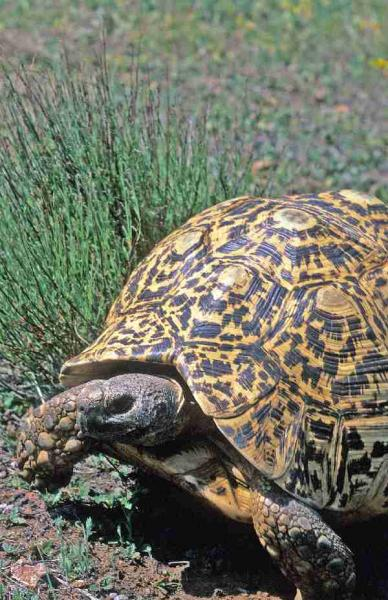 Fig. 3. Male leopard tortoise on the prowl.