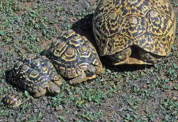 Fig. 9. A range of sizes: hatchling, 5 years, 10 years, adult leopard tortoise.
