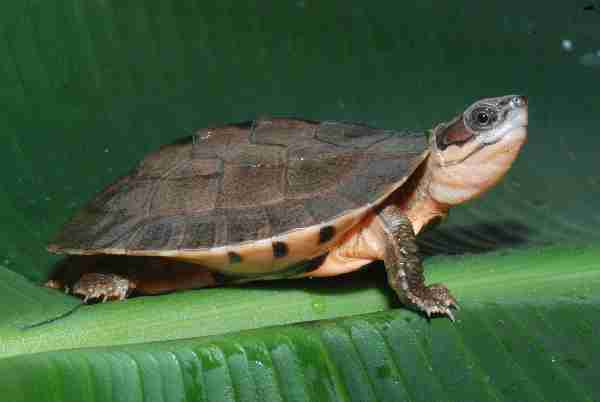 Fig. 1. Hatchling of Meier's golden coin box turtle (Cuora cyclornata meieri). Photo by Hans-Dieter Philippen.