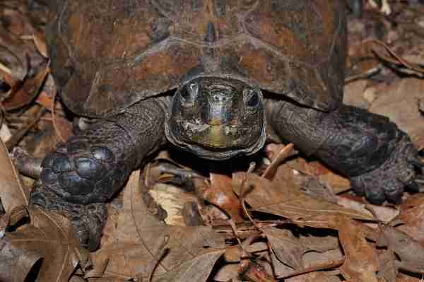 Fig. 5. Portrait of an Arakan forest turtle (Heosemys depressa). Photo by Roland Wirth.