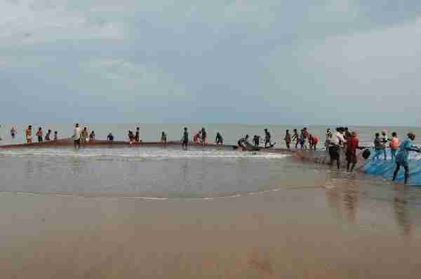 Fig. 2. Traditional shore seine fishing along the north-east coast of Orissa.