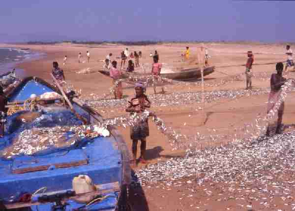 Fig. 4. Fishing practice along the southern Orissa coast with traditional craft using monofilament nets.