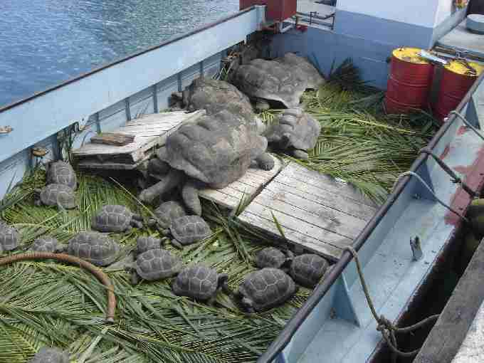 Fig. 12. Tortoises going to Cousine.