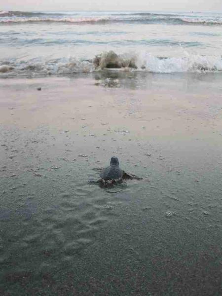 Fig. 9. Green hatchling released from a nest makes its way to the sea.