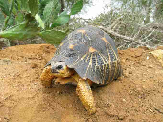 The radiated tortoise displays characteristic cream or yellow stripes radiating out from the centre of its scutes. The species attains a length of up to approximately 40cm straight carapace length.