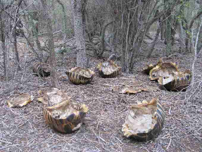 Fig. 4. (a) Radiated tortoise carcasses discarded where they were collected and slaughtered within the forests south of Androka. The tortoise meat has been taken by armed poachers to sell in the large towns of south-west Madagascar.
