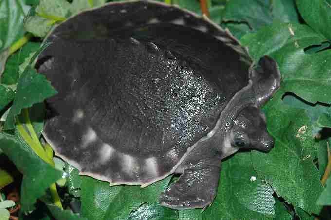 Fig. 5. Pig nosed turtle juvenile (six months old) born at Rotterdam Zoo. Regrettably it is not in the ESF or EAZA programme, but it is a very important species to coordinate as it is involved in a massive trade.